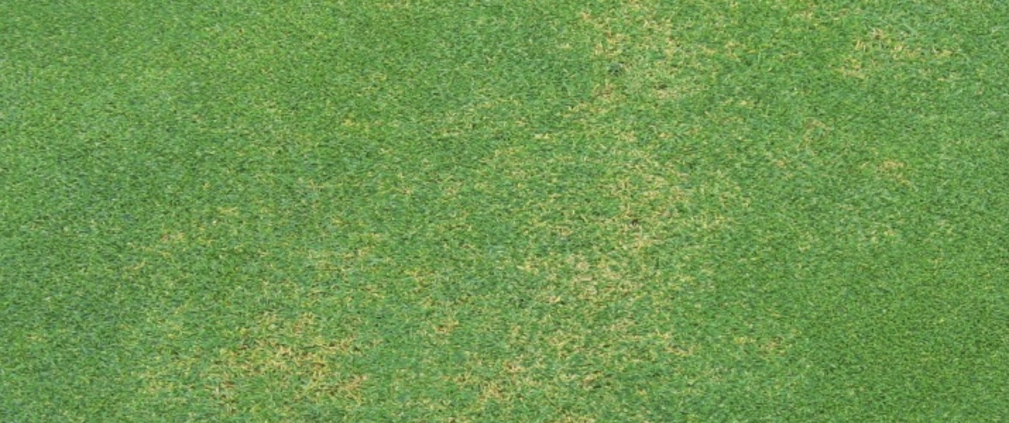 Fading Out Turf Disease South Africa