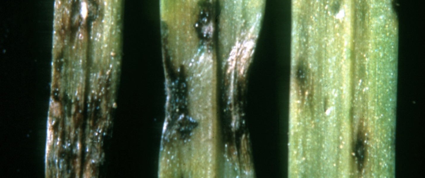 Turf Care in South Africa Treating Grey Leaf Spot