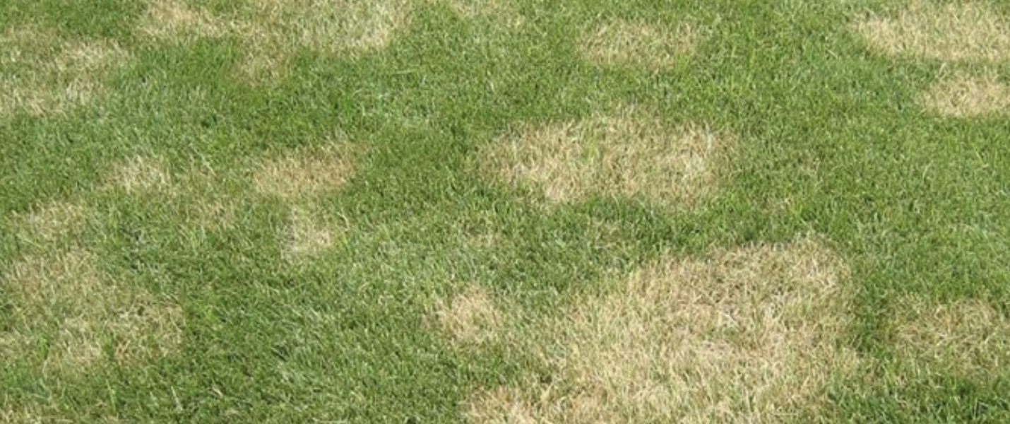 South Africa Golf Turf Care Treating Large Patch