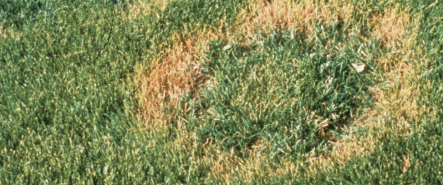 Treating Turf Disease in South Africa Necrotic Ring Spot