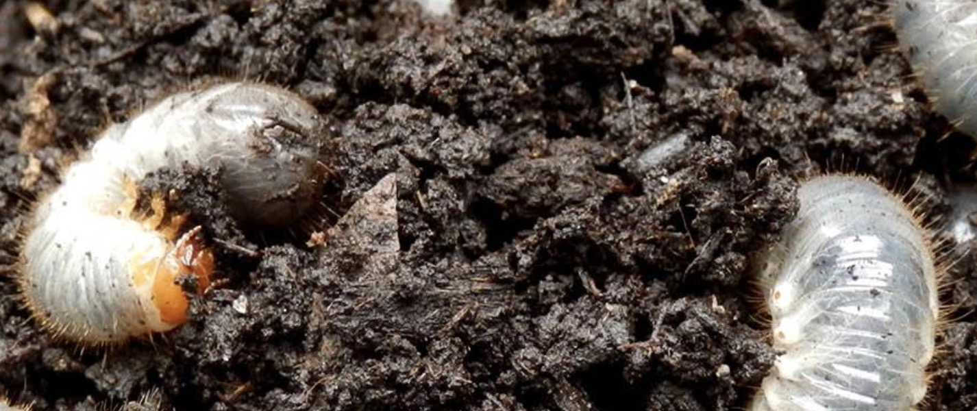 South Africa Golf Turf Care Treating White Grubs Pest