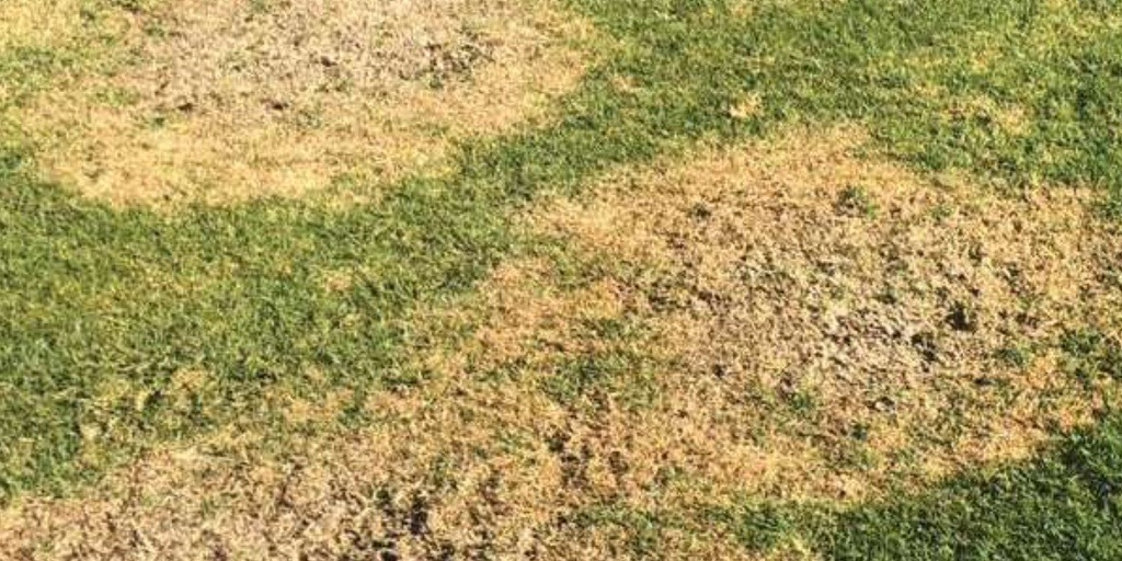 Large Patch Golf Turf Disease Treatment